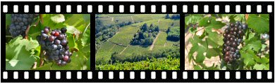 Beaujolais Nouveau wine grape photos and images
