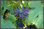 Ploussard grape picture