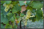 Sauvignan grape picture