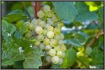 Chardonnay grape picture