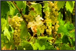 Muscat grape picture