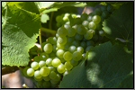 Semillon grape picture