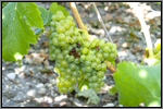 Sauvignon Blanc grape picture