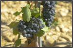 Red wine grape picture