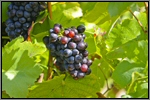 Gamay  grape picture