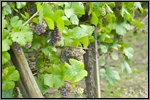 Pinot Gris grape picture
