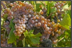 White wine grape variety picture