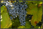 Morrastel grape picture