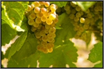 Marsanne grape picture
