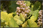 Bourboulenc grape picture