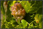 Roussanne grape picture