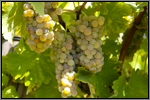 Viognier grape picture