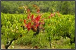 Grape vines picture