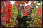 Grape vine picture