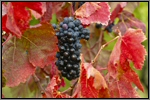 Carignan grape picture