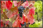 Red grape vine picture