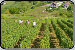 Wine grape harvesting and wine making images