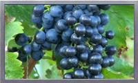Wine grape varieties video