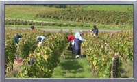 Wine grape harvesting and vinification video clip